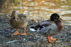 Meeting with ducks near my house. Prague in autumn Royalty Free Stock Photo