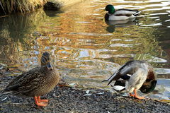 Meeting with ducks near my house. Prague in autumn Royalty Free Stock Image