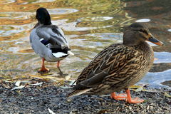 Meeting with ducks near my house. Prague in autumn Royalty Free Stock Photos
