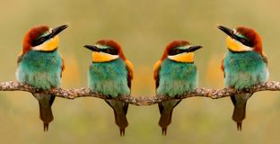 Meeting of four bee-eaters stock images