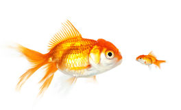 Meeting of large and small goldfish Stock Photos