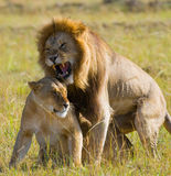 Meeting the lion and lioness in the savannah. National Park. Kenya. Tanzania. Masai Mara. Serengeti. Stock Photos
