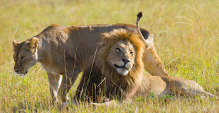 Meeting the lion and lioness in the savannah. National Park. Kenya. Tanzania. Masai Mara. Serengeti. An excellent illustration Stock Photos
