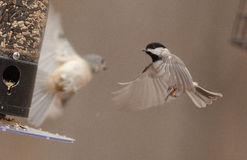 Meeting in Mid-Air--Songbirds Feeding on a Cold Day in Winter Royalty Free Stock Image