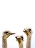 Meeting of the minds. A group of ostriches discussing the day's events with copy space above stock photography