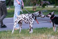 Dalmatian and husky dog on a walk in the city Park on a warm summer evening. Meeting obedient Dalmatian and good husky somewhere in Eastern Europe stock photo