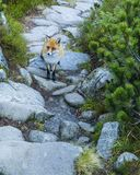 Meeting of red fox on the trail. Meeting of red fox Vulpes vulpes on the trail stock photography