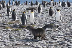 Meeting of a seal and king penguins Stock Image