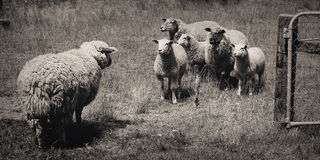 A Meeting of Sheep Royalty Free Stock Image