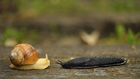 The meeting, Snail with black screw naked, Macro Royalty Free Stock Photography