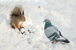 Squirrel protects food from pigeon. Meeting squirrels and a pigeon Royalty Free Stock Photography