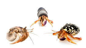 Meeting three-hermit crabs Stock Image