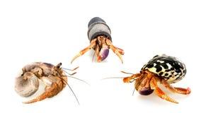 Meeting three-hermit crabs. Three hermit crab on a white background. Symposium Stock Image