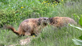 Meeting of two alpine marmots (Marmota marmota). Two alpine marmots meets, one whispers something into the ear of the other, then goes away and the other stock video footage