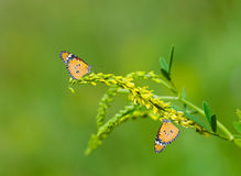 Meeting of two monarch butterflies Stock Image