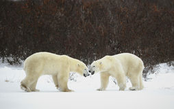 Meeting of two polar bears. royalty free stock photo