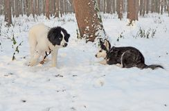 Meeting of two puppies in the winter park. A small landseer cheerfully invites the lurking little Siberian husky to play Royalty Free Stock Photo