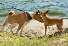 Meeting two red-haired dogs on a walk by the river Royalty Free Stock Photos