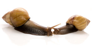 Meeting of two snails isolated on white background, concept of kissing each other Royalty Free Stock Photos