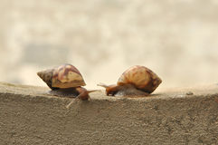 Meeting of two snails on wall. Concept of love Royalty Free Stock Photo