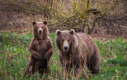 Meeting in the woods. Brown bears, Kamchatka. An unexpected encounter in the woods with the family of brown bears Royalty Free Stock Image