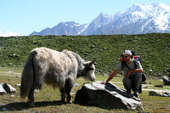 Meeting Yak Stock Images