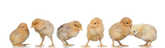 Meeting of yellow chickens at Easter royalty free stock image