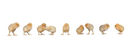 Meeting of yellow chickens at Easter stock images
