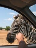 Meeting zebra during safari. In car Royalty Free Stock Photography