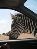 Meeting zebra during safari. In car Royalty Free Stock Photos