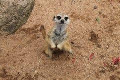 Meetkat sud-africain se tenant photographié d'en haut Image stock