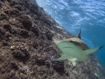 Meetshark. Blacktip reef shark swimming over tropical reef stock image