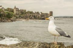 Meeuw bij St Andrews Castle Stock Fotografie