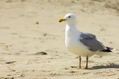 Meeuw bij strand stock fotografie