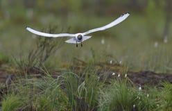 Meeuw met zwarte kop (Larus-ridibundus) tijdens de vlucht Stock Foto's