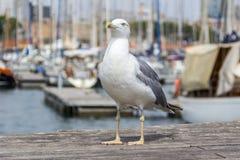 Meeuw op de bootpijler Royalty-vrije Stock Fotografie