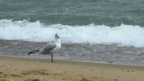 Meeuw op de overzeese kust stock footage