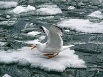 Meeuw op een blokuren van ijs Royalty-vrije Stock Foto