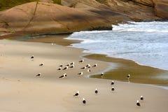 Meeuwen bij Duivelsstrand worden ondergebracht in Ipanema die royalty-vrije stock foto