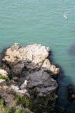 Meeuwen de met zwarte staart van het Hailueiland Stock Afbeeldingen
