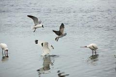 Meeuwen die een ibis met een rivierkreeft in zijn rekening, Florida achtervolgen Stock Foto