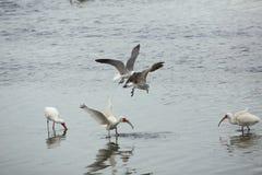 Meeuwen die een ibis met een rivierkreeft in zijn rekening, Florida achtervolgen Stock Fotografie