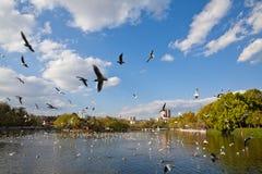 Meeuwen die met zwarte kop op het meer vliegen Royalty-vrije Stock Afbeelding