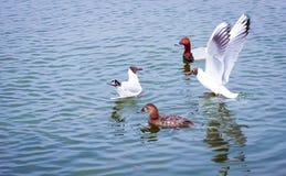 Meeuwen en eenden op het water Stock Afbeeldingen