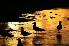 Meeuwen op de kust bij zonsondergang 3 Royalty-vrije Stock Afbeeldingen