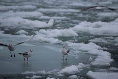 Meeuwen op het ijs Royalty-vrije Stock Afbeeldingen
