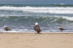 Meeuwen op het strand Royalty-vrije Stock Afbeelding