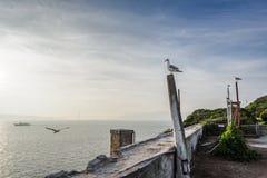 Meeuwen van Alcatraz Stock Afbeeldingen