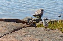 Meeuwkuiken op de rotsachtige kust Stock Afbeelding