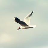 Meeuwvogel die in de hemel vliegen Royalty-vrije Stock Afbeeldingen